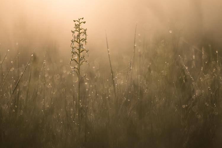 Welriekende nachtorchis (Platanthera bifolia) bij zonsopkomst