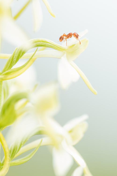 Welriekende nachtorchis (Platanthera bifolia) met bezoekende mier