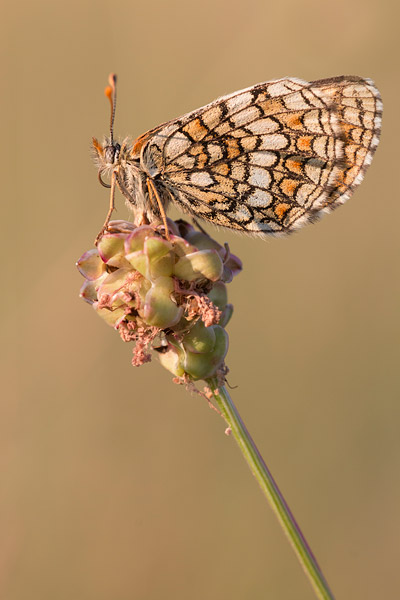 Westelijke parelmoervlinder (Melitaea parthenoides) op kleine pimpernel
