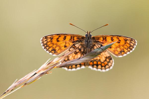 Westelijke parelmoervlinder (Melitaea parthenoides) in tegenlicht
