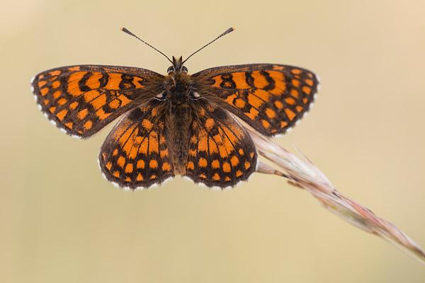 Westelijke parelmoervlinder (Melitaea parthenoides)