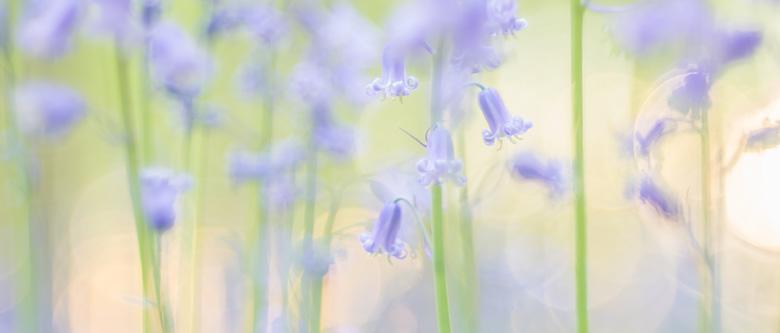 Wilde hyacinten ( Hyacinthoides non-scripta) in het Hallerbos in warm zonlicht.