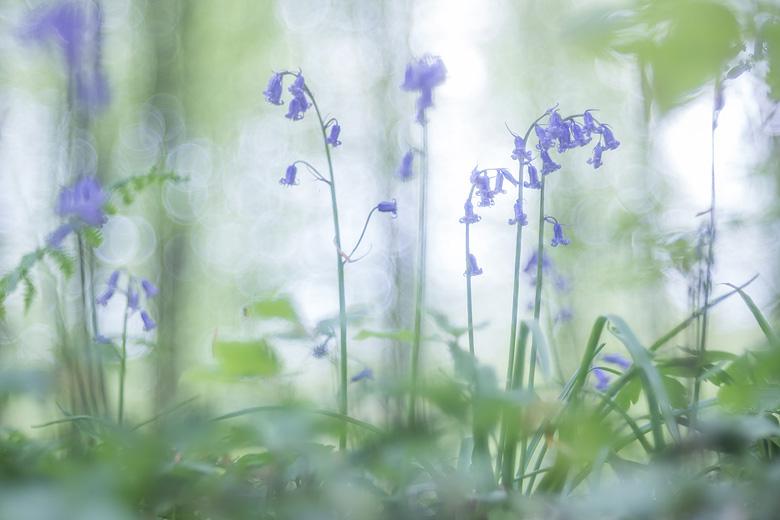 Wilde hyacinten ( Hyacinthoides non-scripta) in het Hallerbos.