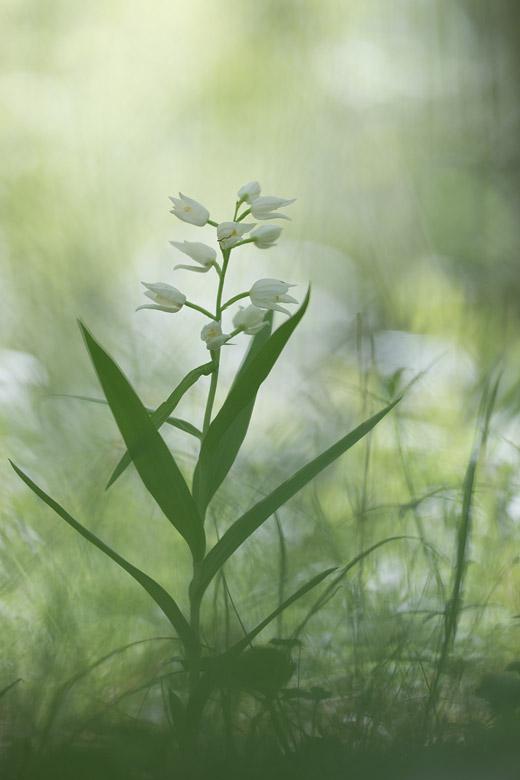 Wit bosvogeltje (Cephalanthera longifolia)