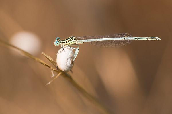 Witte breedscheenjuffer (Platycnemis latipes) mannetje