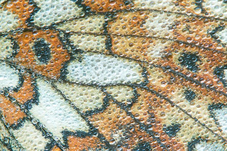 Close-up van de vleugel van een Zilveren maan (Boloria selene)