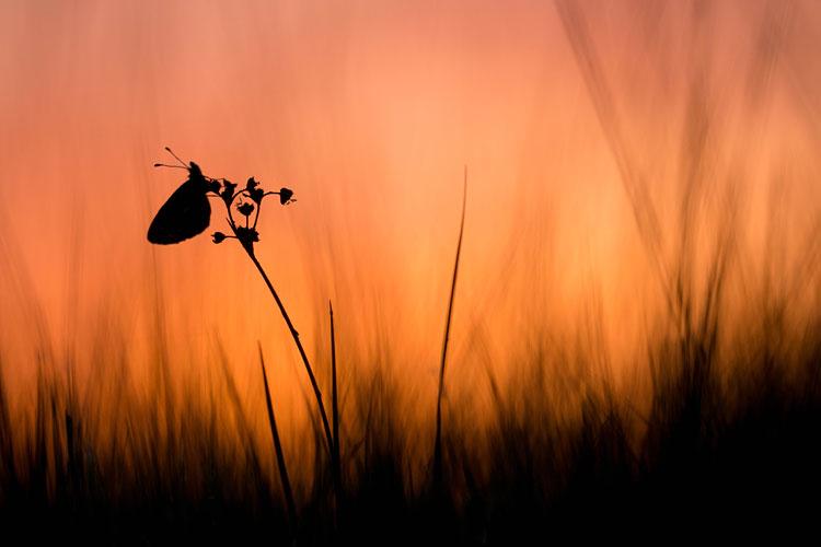 Zilveren maan (Boloria selene) silhouette bij zonsopkomst