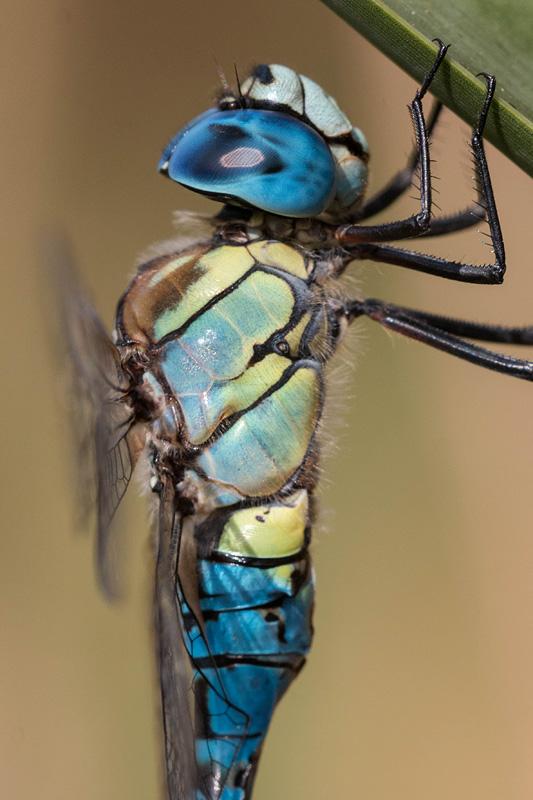 Mannetje van de zuidelijke glazenmaker (Aeshna affinis)