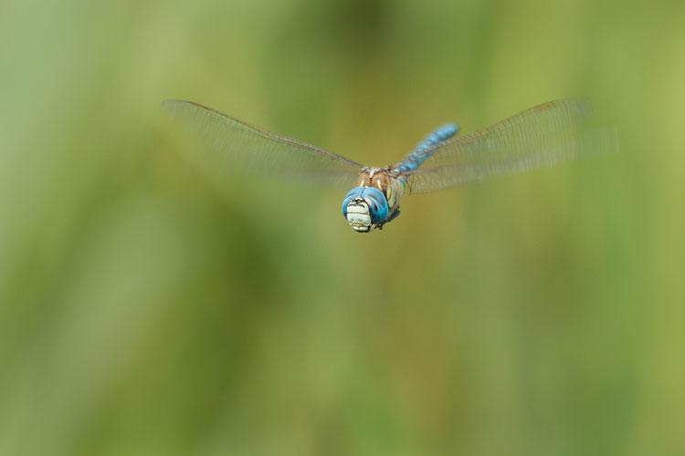 Mannetje van de zuidelijke glazenmaker (Aeshna affinis)  in vlucht
