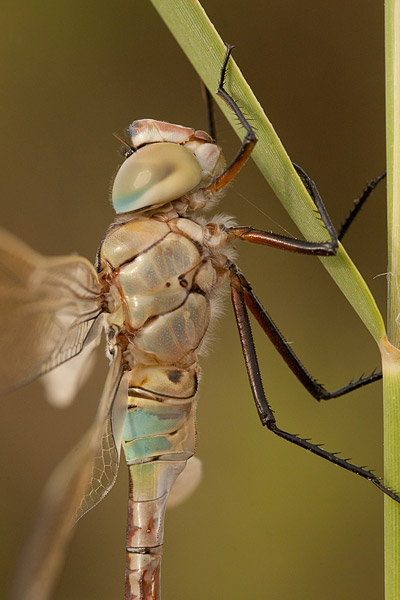 Zuidelijke keizerlibel (Anax parthenope) close-up
