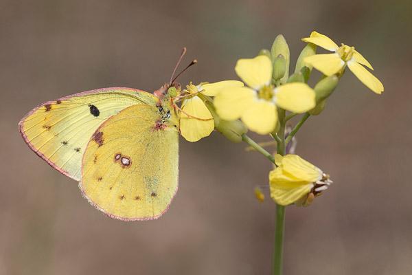 Zuidelijke luzernevlinder (Colias alfacariensis)