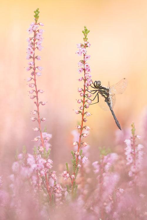 Zwarte heidelibel in bloeiende heide