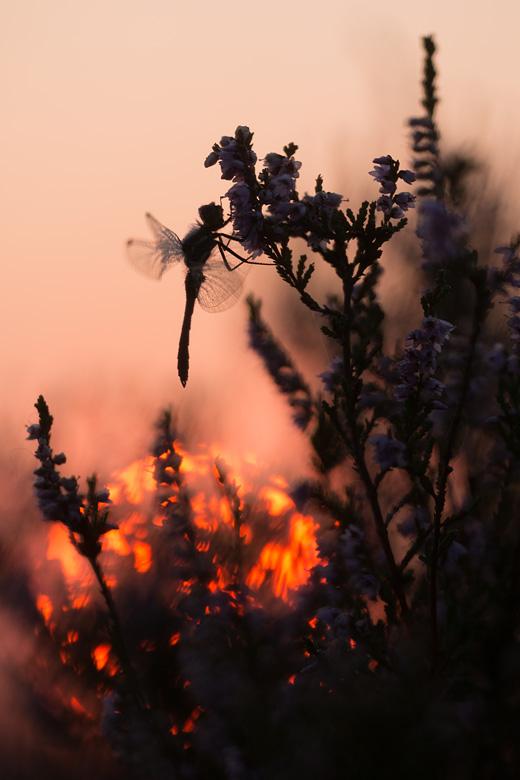 Zwarte heidelibel (Sympetrum danea) in de bloeiende heide