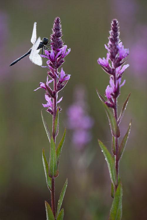 Zwarte heidelibel (Sympetrum danea) man