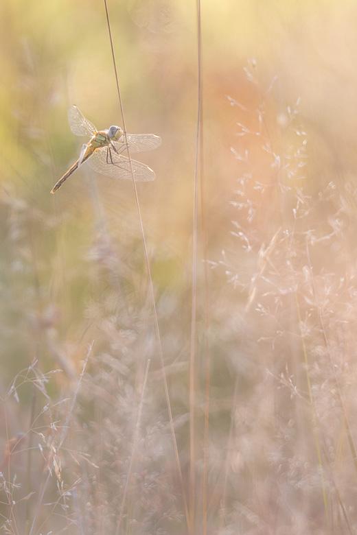 Zwervende heidelibel (Sympetrum foncolombii) in zijn grassige habitat