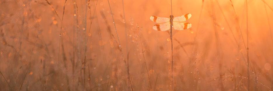 Bandheidelibel tussen de grassen bij zonsopkomst