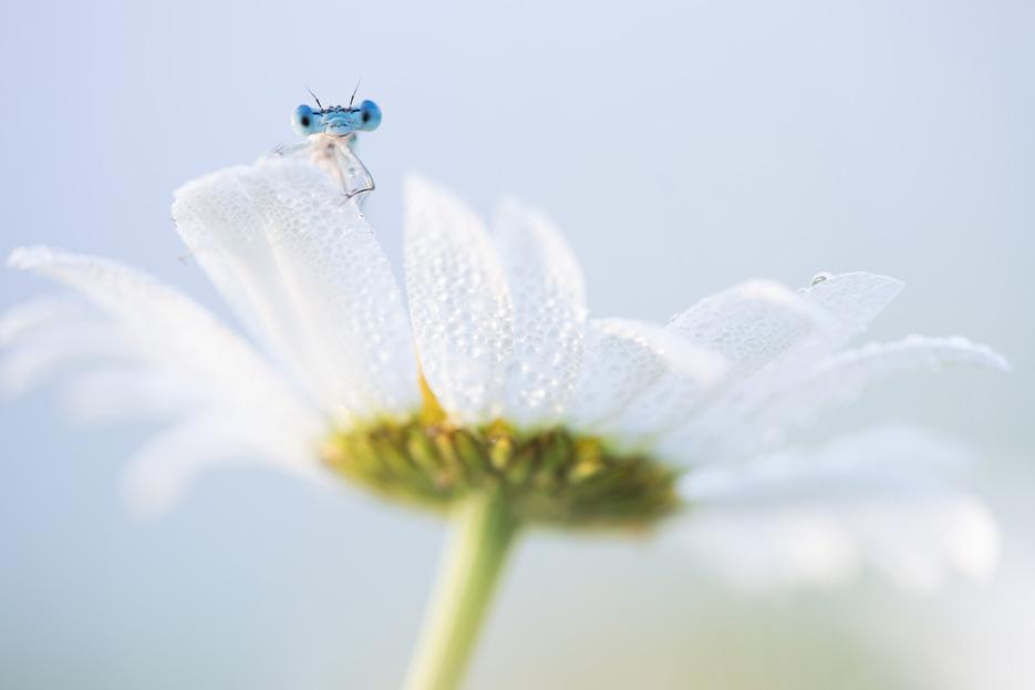 Blauwe breedscheenjuffer op margriet