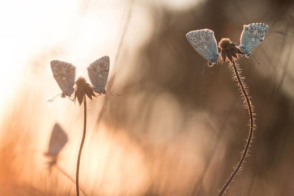 Bleke blauwtjes bij zonsondergang