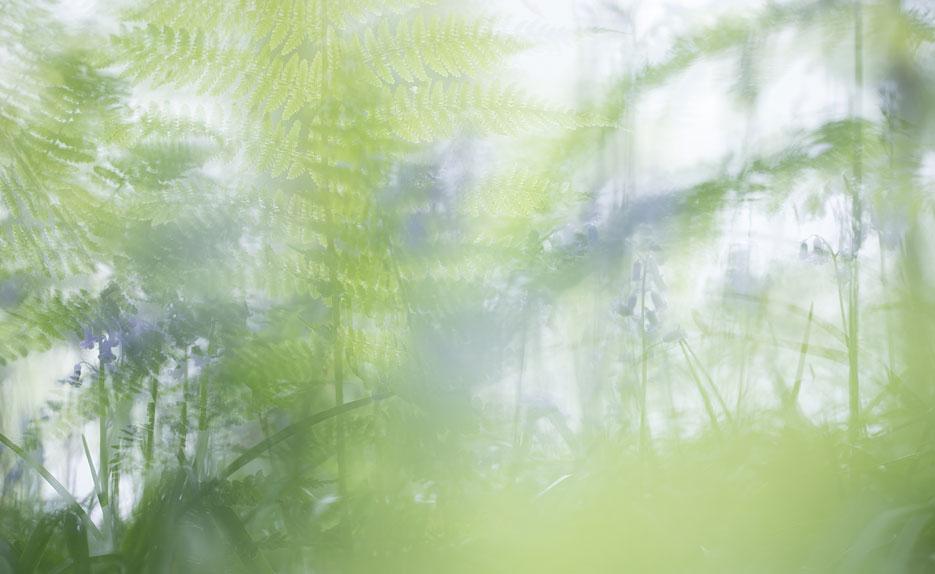 Hallerbos dubbele belichting met varens en wilde hyacinten