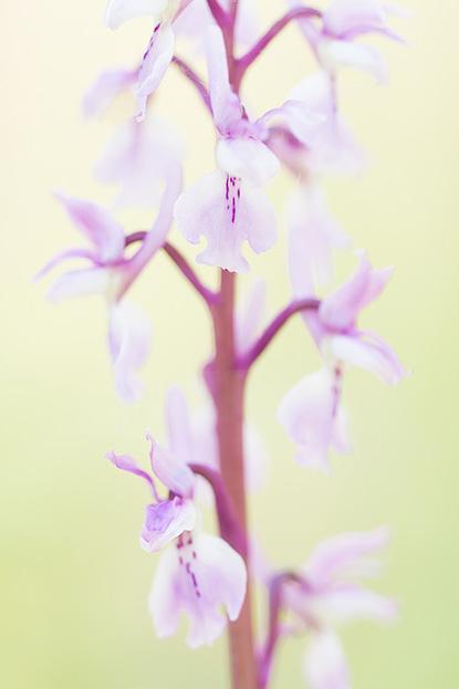 Licht exemplaar van de mannetjesorchis