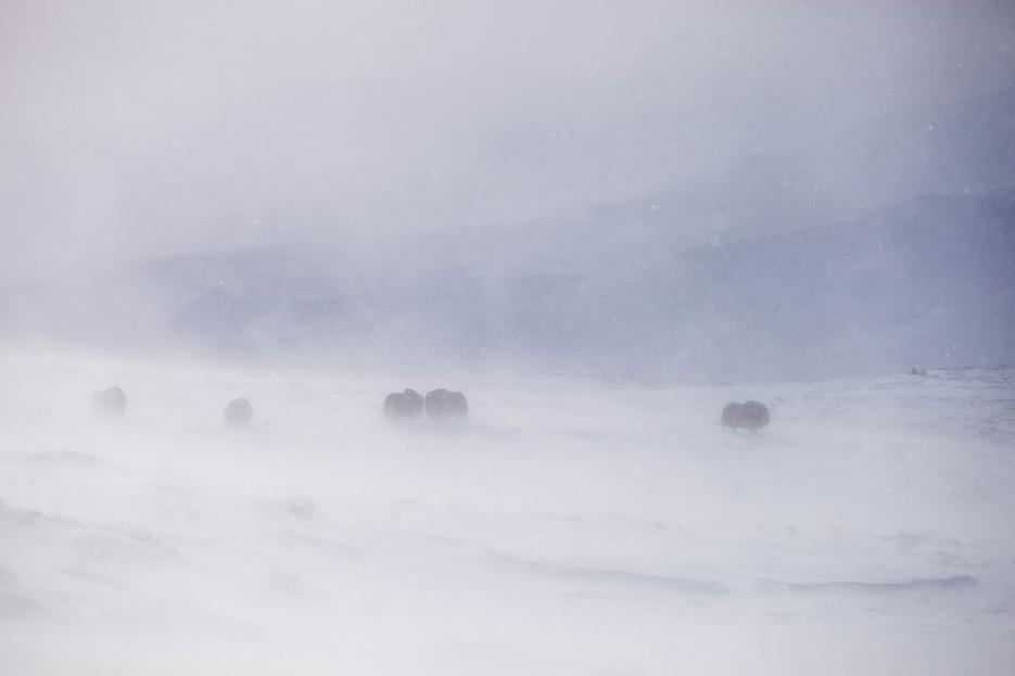 Muskusossen in een sneeuwstorm