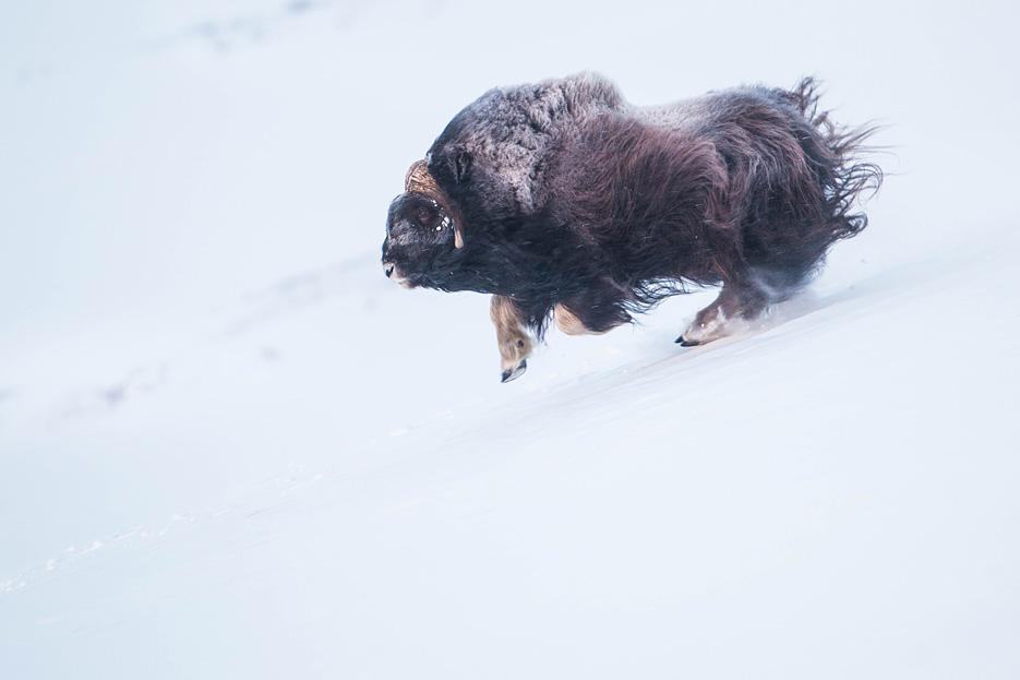 Muskusos stier sprint door de sneeuw