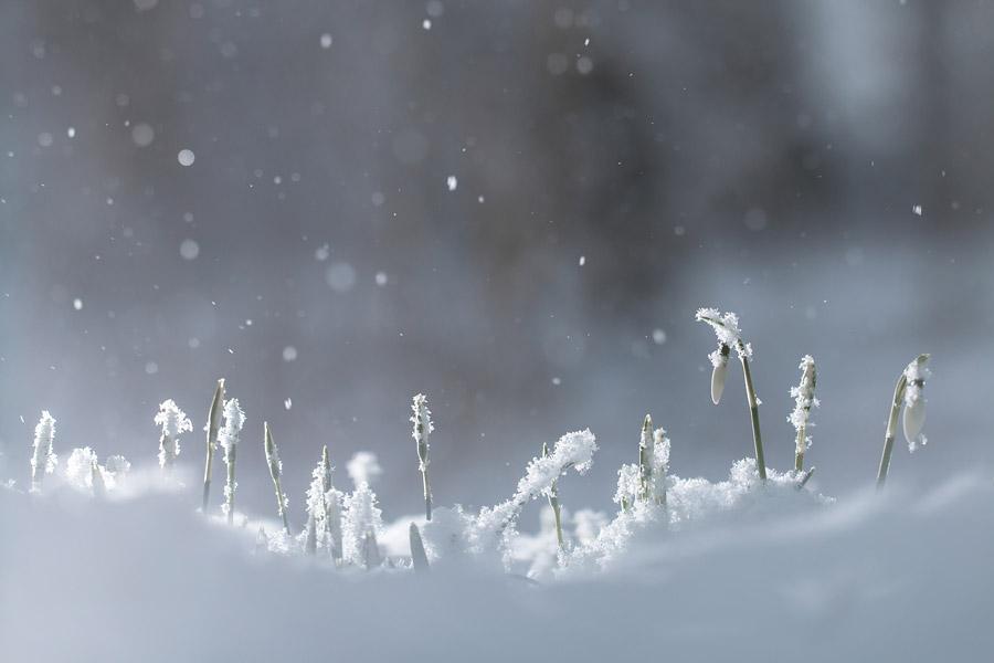 Sneeuwklokjes in een sneeuwbui