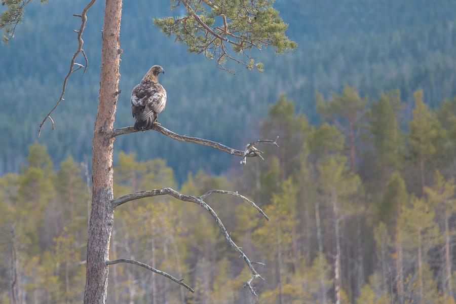 Steenarend in het Zweedse landschap