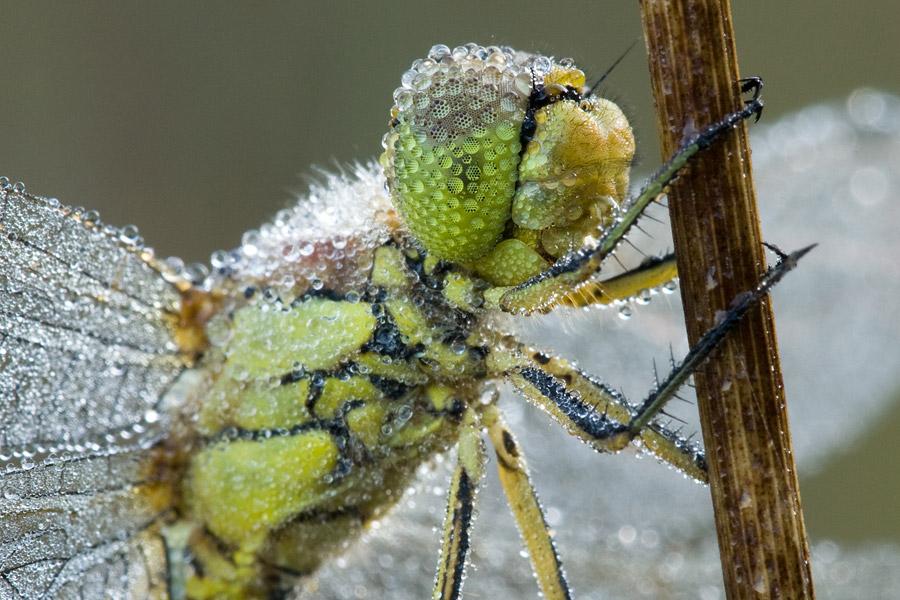 Steenrode heidelibel close-up met dauwdruppels op zijn ogen
