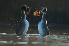 Futen voeren de penguindans uit in tegenlicht