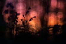 Wilde hyactinten bij zonsopkomst