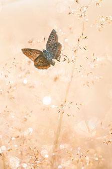 Icarusblauwtje in bedauwde bloeiaar van gras