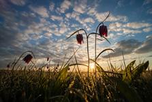 Kievitsbloemen in groothoek bij zonsopkomst