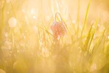 Kievietsbloem in spetterend ochtendlicht