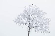 Kraai in een berijpte boom