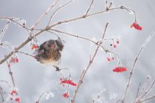 Kramsvogel in berijpte bessenstruik