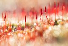 Knallende kleuren bij bloeiend ruig haarmos