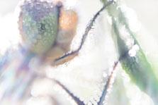 Steenrode heidelibel onder de dauw