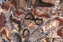 Atalanta close-up