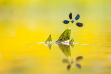 Mannetje weidebeekjuffer in vlucht met reflectie