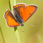 4 dagen vlinders fotograferen in de Eifel