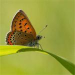 Vlinders fotograferen in de Eifel