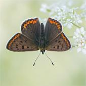 Prachtig mannetje bruine vuurvlinder