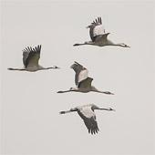 Kraanvogels in Duitsland bij het Moorniederung