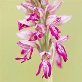 Drie dagen vol orchideeën in de Eifel