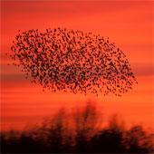 Spreeuwenwolken voor zonsondergang