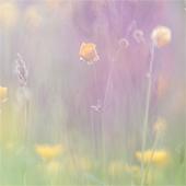 Zomers sfeertje tussen boterbloem en orchissen