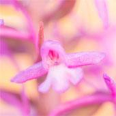 Zomervakantie tussen orchideeën en vlinders in de Eifel