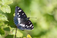 Blauwe ijsvogelvlinder (Limenitis reducta)