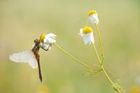 Bloedrode heidelibel (Sympetrum sanguineum)